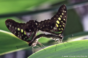 Graphium aggamemnon Paarung