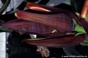 Bananenfalter 2