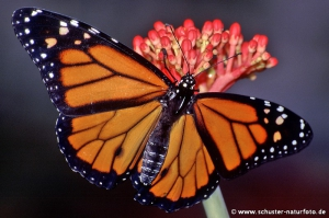 Danaus plexippus Monarch 1