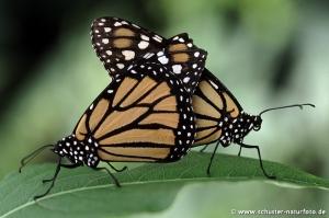 Danaus plexippus Monarchpaarung