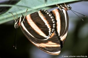 Dryadula phaetusa Paarung