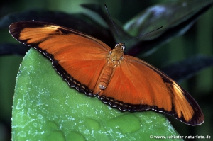 Dryas julia Flamme 1