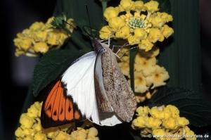 Hebomoia glaucippe maennl