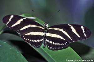 Heliconius charitonius Zebra 1