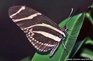 Heliconius charitonius Zebra 2